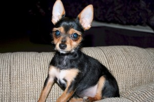 Daisy the Chorkie - Yorkie and Chihuahua Mix