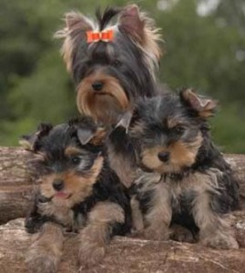 how to pick the right yorkie